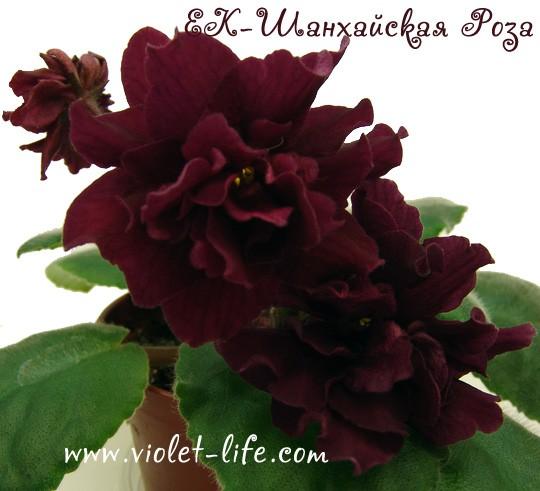 Шанхайская роза фиалка фото и описание