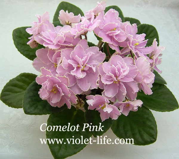 Comelot Pink