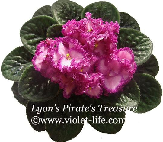 Lyon s pirate s treasure фиалка